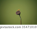 Lotus Withered  35471010