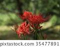 Cluster Flower of Nara Yuryuji Temple 35477891