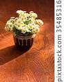 국화, 국화꽃, 식물 35485316