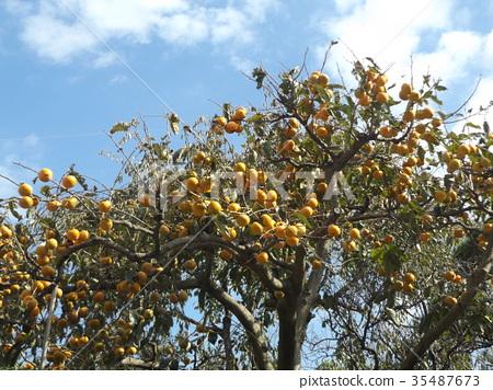甜柿 水果 落葉樹 35487673