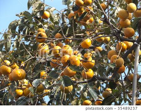 甜柿 水果 落叶树 35489237