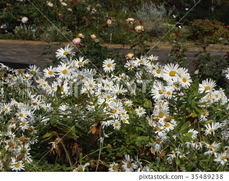 ดอกไม้,ฤดูใบไม้ร่วง,แปลงดอกไม้ 35489238