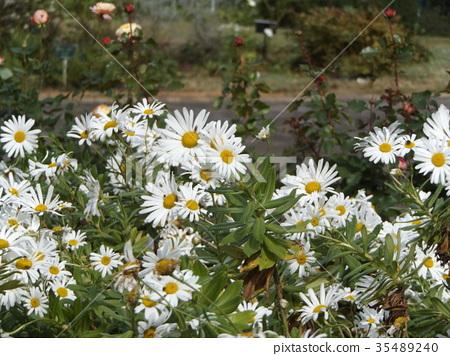 꽃, 플라워, 백색 35489240