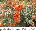 鲜红色的小果实是火棘果 35489241
