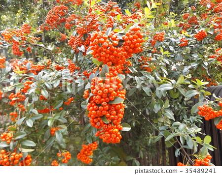 火棘 水果 红 35489241