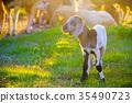 Small cute lamb in sheep farm 35490723