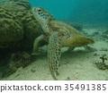 바다거북, 푸른바다거북, 거북이 35491385