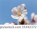樱花 樱桃树 樱花盛开 35492372
