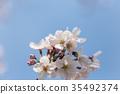 樱花 樱桃树 樱花盛开 35492374