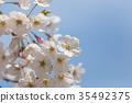 樱花 樱桃树 樱花盛开 35492375