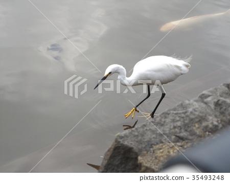 小白鹭 野生鸟类 野鸟 35493248