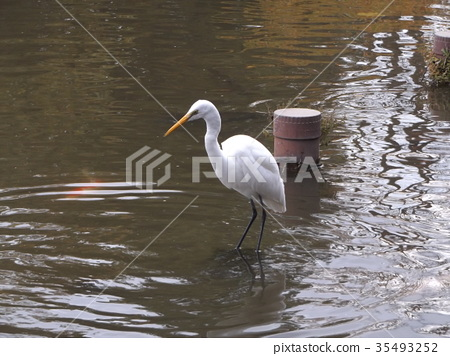 great egret, wild bird, white 35493252