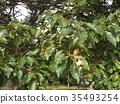 樟 樟腦樹 水果 35493254