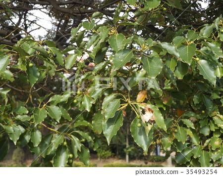 camphor, camphor tree, camphor wood 35493254