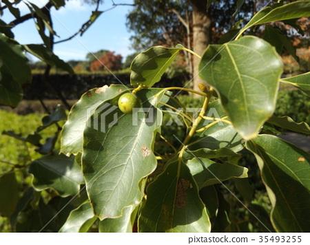 camphor, camphor tree, camphor wood 35493255