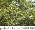 바가지 형의 열매를 붙인 녹나무의 거목 35494369