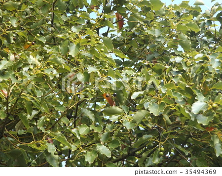 camphor, camphor tree, camphor wood 35494369