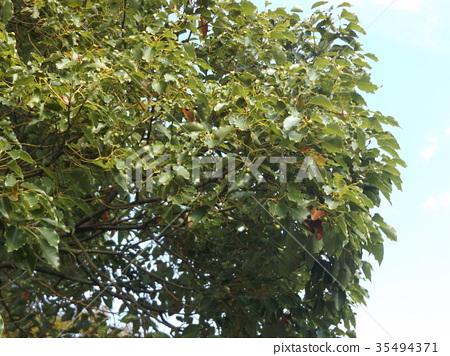 camphor tree, large tree, an evergreen tree 35494371