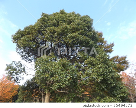 camphor tree, large tree, an evergreen tree 35494372