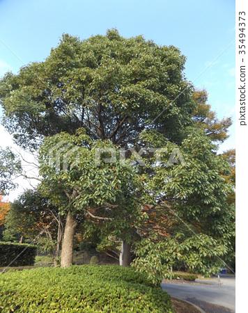 녹나무, 쿠스노키, 큰 나무 35494373