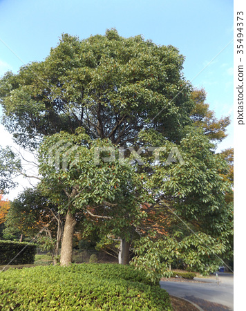 camphor tree, large tree, an evergreen tree 35494373