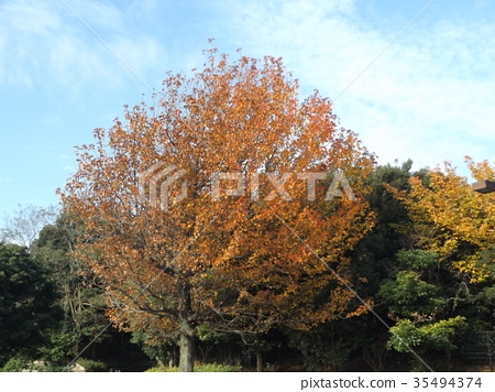 sweetgum, maple, yellow leafe 35494374