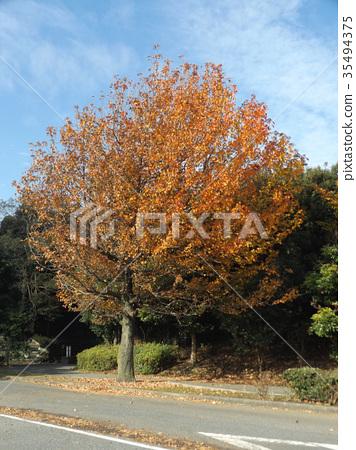 미국풍나무, 단풍, 적색 35494375