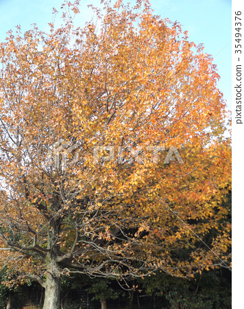 sweetgum, maple, yellow leafe 35494376