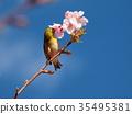 樱花 樱桃树 河津樱 35495381