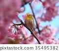 white-eye, white eye, white-eye bird 35495382
