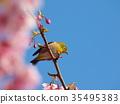 white-eye, white eye, white-eye bird 35495383