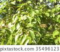 바가지 형의 열매를 붙인 녹나무의 거목 35496123