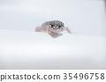 爬行動物 爬蟲類的 蠑螈 35496758