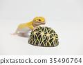豹子mont牡蠣蛾豹子gekko爬行動物 35496764