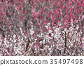 ดอกพลัมสีขาวดอกพลัมสีขาวพลัมโกรฟพลัมโกรฟ 35497498