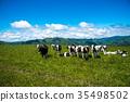 목장, 방목, 젖소 35498502