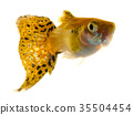 Colourful Guppy Fish 35504454