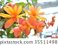 Pink yellow begonia flower up 35511498