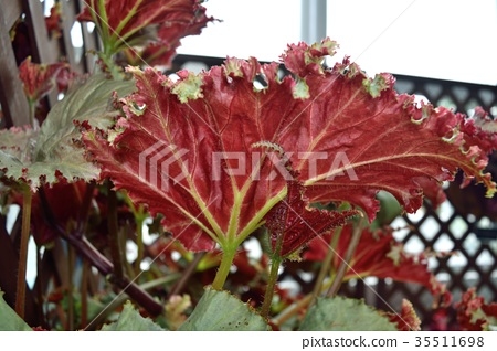 Rhizome begonia red leaf up 35511698
