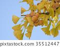 은행나무, 열매, 과실 35512447