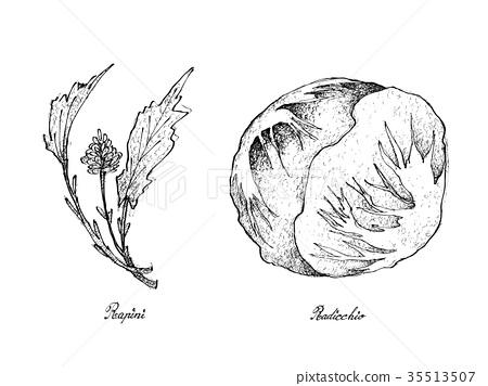 Hand Drawn of Fresh Rapini and Radicchio 35513507