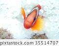 鱼 小丑鱼 银莲花 35514707
