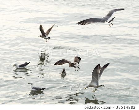 淡水河上的海鷗 35514882