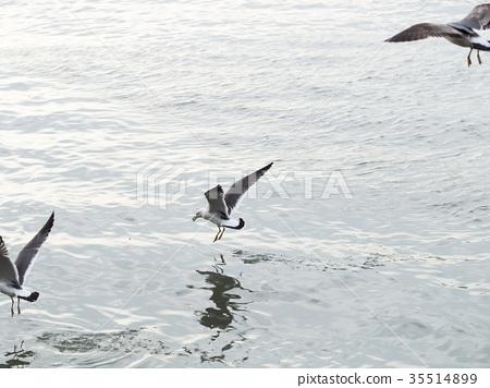 淡水河上的海鷗 35514899