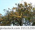 甜柿 水果 落葉樹 35515299