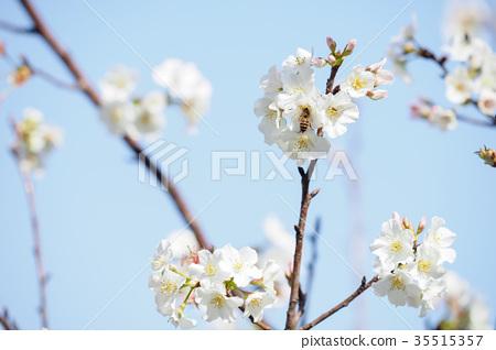 櫻花 35515357