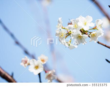 櫻花 35515375