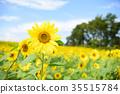 해바라기, 꽃밭, 여름 35515784