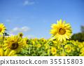 Sun Flower 35515803