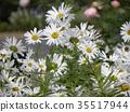 濱菊 浜菊 花朵 35517944